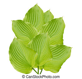 beautiful green hostas on a white background