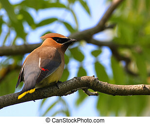 Cedar Waxwing perched in tree in morning light