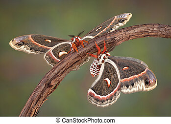 Two Cecropia moths on a vine