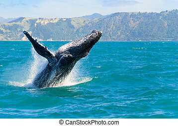 Humpback Whale Jumping Out Of The Water - Massive humpback...