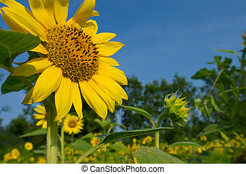 Sunflower (Helianthus annuus) facing the sun in a field