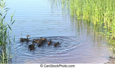 Feeding of duck family - Morning on the lake, feeding of...