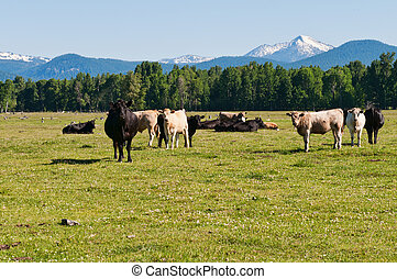 Cattle in a field near Fort Klamath, Oregon