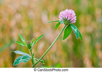 Red clover flower in front of a blurry cornfield.