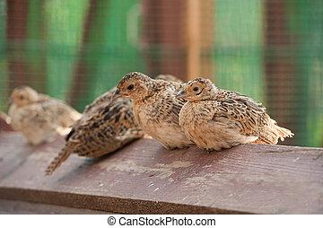 bebé, Aves, faisán