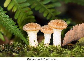 honey fungus trio - honey fungus (Armillariella mellea) trio...