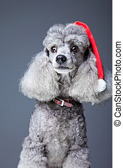 Close-up portrait of obedient small gray poodle with red...