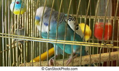 blue parrot - close-up of the blue budgerigar (melopsittacus...
