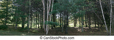 coniferous  forest,    panorama, prospect