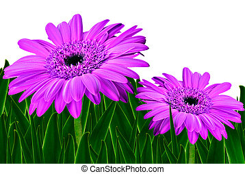 Colorful daisy gerbera flowers in a field - spring...