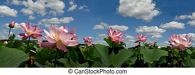 The Lotus flower , panorama, prospect - In August month the...
