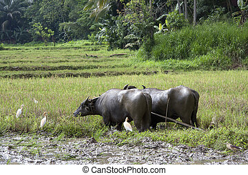 Water buffalo - A pair of water buffalo harnessed for work...