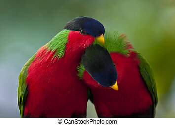 Collared Lory - Two little birds in the love game