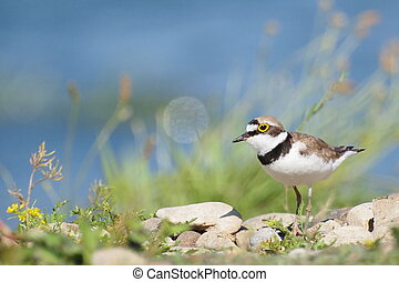 Little Ringed Plover with beautiful background, Charadrius...