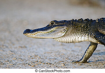American alligator - An American alligator walking along the...