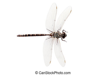 top view dragon fly - isolated top view dragon fly