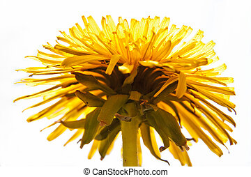 Common Dandelion from bottom view - Detail of Common...
