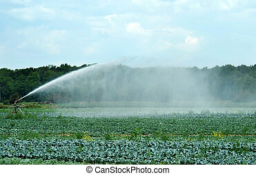 watering a cabbage field with sprinkler