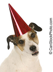 party dog - jack russel terrier wearing red party hat and...