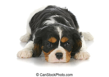 cute puppy - tri-color cavalier king charles puppy laying...