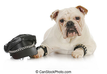 tough dog - english bulldog dressed up like a biker on white...