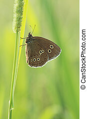 Ringlet butterfly on grass