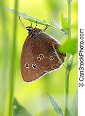 Ringlet in very green surroundings