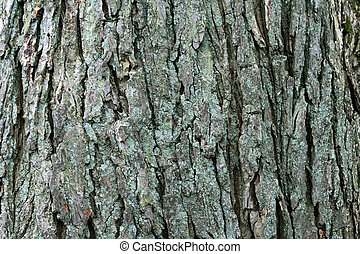 american elm bark - image of large mature american elm...