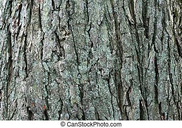 american elm bark - image of large mature american elm Ulmus...