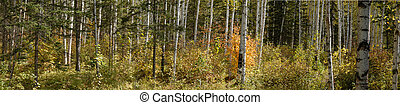 coniferous forest, panorama, prospect - Difficult to...