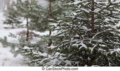 Winter tree - Fir-tree in the forest during winter