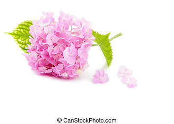 pink Hydrangea from the garden on  white