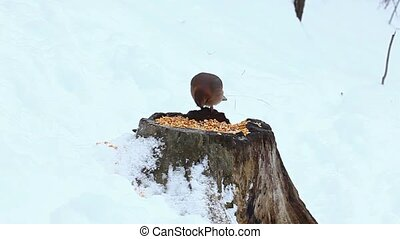 Eurasian Jay birds in winter Garrulus glandarius