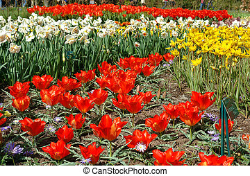 Flower bed in Keukenhof gardens - Spring flowers in...