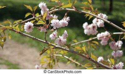 Oriental cherry flower on wind