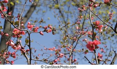 Wind rustles branches in blossom