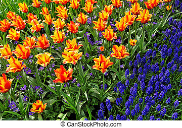 Flower bed in Keukenhof gardens - Tulips and bluebells,...