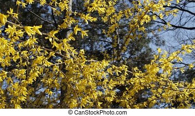 Early spring flowering shrubs in th - Wind rustles branches,...