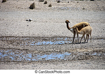 Vicuna family - Wild femals Vicuna and mother in the plains...