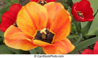 Blossom tulips with petals turned a - Blossoming tulips in...