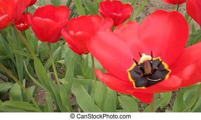 Saturated red opened tulip in the - Rich red tulip with...
