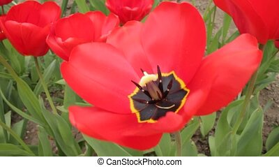 Close-up of beautiful red tulips