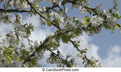Wind rustles cherry branches in whi