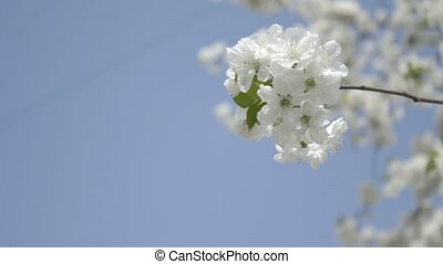 Smoothly swaying cherry sprig in bl - Small sprig of white...