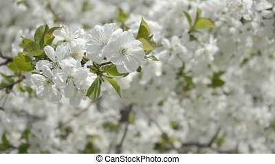 Cherry branches in white blossom on - Small white beautiful...