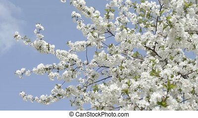 Flowering white cherry on wind agai