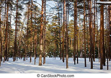 pine forest in frozen day