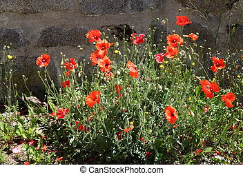 Red Flanders Poppies - A vivid bush of the wild red poppy,...