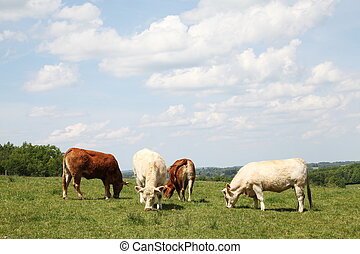 Grazing Beef Cattle - Grazing Limousin and Charolais beef...