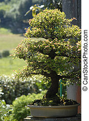chinensis, olmo, bonsai